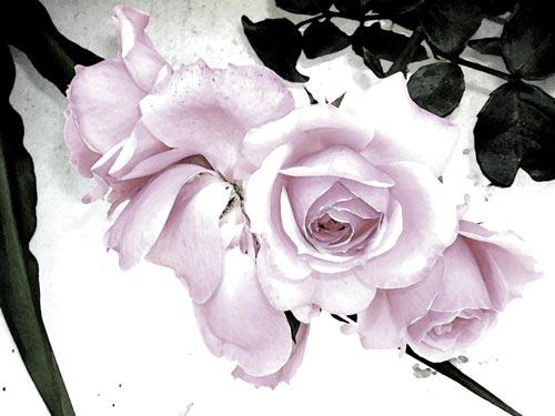 SIGUIENDO CON LA PRODUCCION DE AMV 20060510231715-rosas-de-mayo-10-a-la-acu